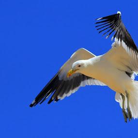 Hovering by Johann Fouche - Animals Birds ( bird, flight, gull, birds, sea gull,  )