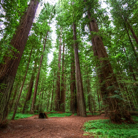 In The Redwoods by Chip Bolcik - Landscapes Forests