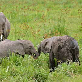 baby Elephants playing by Janet Rose - Novices Only Wildlife