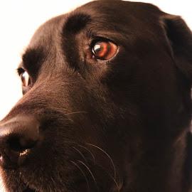 Watching You! by Meeta Thakur - Animals - Dogs Portraits ( labrador retriever, watching, portrait, photography )