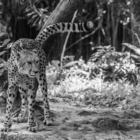 Cheetah by Valliappan Chellappan - Animals Lions, Tigers & Big Cats ( cats, cheetah, intense, fast, animal )