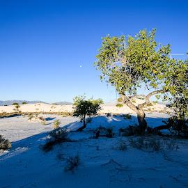 Gypsum Moonset by Ally Skiba - Landscapes Deserts ( crystals, sand, moonset, moon, desert, tree, white sands national monument, blue, sunrise, landscape, new mexico )