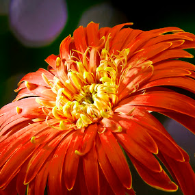 Orange Flower by Jun Santos - Nature Up Close Flowers - 2011-2013 ( orange, nature, garden, close-up, flower )