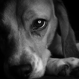 by Tonny Gosal - Animals - Dogs Portraits
