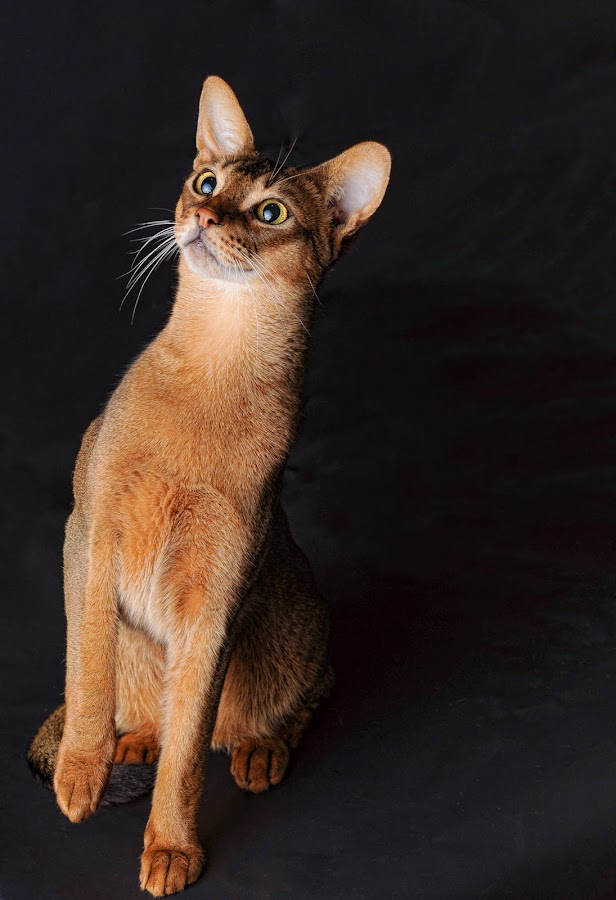 ruddy Abyssinian by Rita Bruche - Animals - Cats Portraits ( pedigree, cat, brown, tawny, abyssinian, ruddy,  )