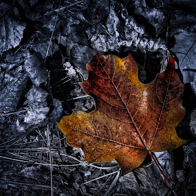Crimson and Rust by Glen Sande - Nature Up Close Leaves & Grasses ( mn, duluth, black and white, fall, colorized black and white, leaves, maple leaf )