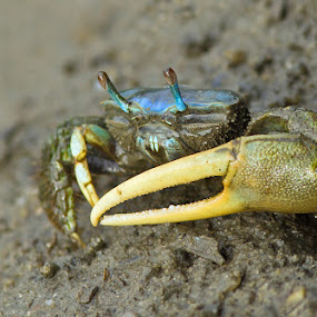 by Herb Houghton - Animals Sea Creatures ( crustacean, fiddler crab, crab, shell fish )