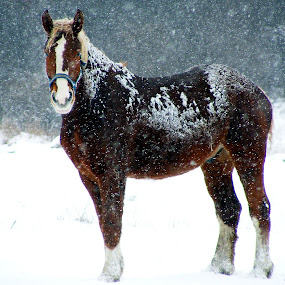Out in the cold by Sondra Sarra - Animals Horses (  )
