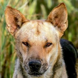 by Mohsin Raza - Animals - Dogs Portraits (  )