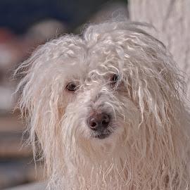 by Adriana Kastelan - Animals - Dogs Portraits