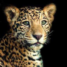 Jaguar Cub Closeup by Judy Rosanno - Animals Lions, Tigers & Big Cats ( baby jaguars, february 2017, san antonio zoo,  )