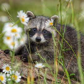 Raccoon Cutie by Valerie Cozart - Animals Other Mammals ( nature, outdoor, wildlife, raccoon, kit )