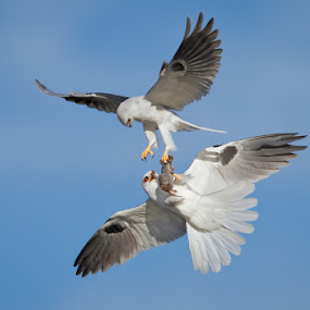 Mid-air Offering by Phoo (mallardg500) Chan - Animals Birds ( white-tailed kite )