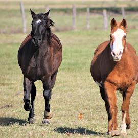 Running Wild by Leah Zisserson - Animals Horses ( field, horses, pair, virginia, brown, running )