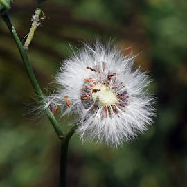 weed seeds by LADOCKi Elvira - Nature Up Close Other plants