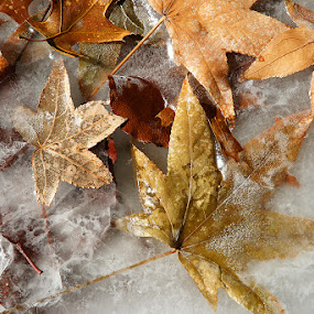 Frost Bite by Craig Bill - Nature Up Close Leaves & Grasses ( fall leaves on ground, fall leaves )