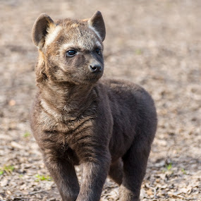 Hyena Pose by Lajos E - Animals Other Mammals ( spotted, scavenger, african, carnivores, crocuta, forest, young, cub, predator, puppy, baby, hyenidae, hyena, carnivora,  )