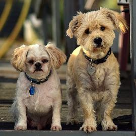 Merlin & Paris by Shawn Thomas - Animals - Dogs Portraits