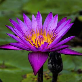 Water Lily by Lye Danny - Flowers Single Flower