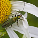 Thick legged flower beetle (female)