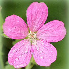 campion by Caroline Beaumont - Flowers Single Flower ( campion )