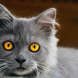Mata Kucing,,, by Encik Muchlis - Animals - Cats Portraits