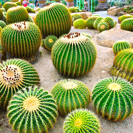 Cactus by Kunal Kumar Maurya - Nature Up Close Other plants ( field, stone, cactus flower, cactus )