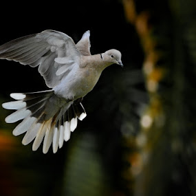 Dove in flight by Joe McBroom - Animals Birds