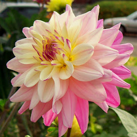 IN THE PINK by William Thielen - Novices Only Flowers & Plants ( urban, button, seattle, sunny, white, bloom, pink, dahlia, large )