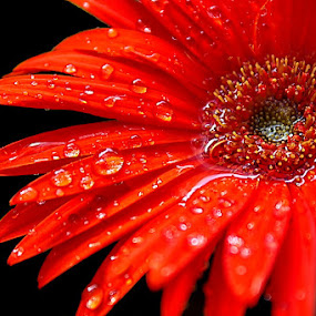 Red Daisy by Suehana SuZie - Nature Up Close Flowers - 2011-2013 ( pwcredscapes )