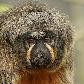 Saki Monkey by Ralph Harvey - Animals Other Mammals ( chessington zoo, wildlife, ralph harvey, monkey, animal )