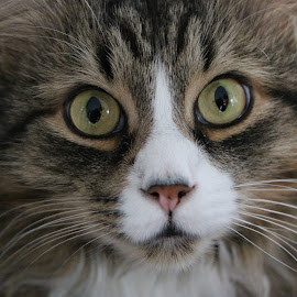 Gamin by Richard Poirier - Animals - Cats Portraits