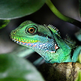 Green lizard by Claudiu Petrisor - Animals Reptiles ( lizard, zoo, leafs, green, germany )