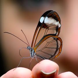 little friend by Matej Niznansky - Animals Insects & Spiders ( glasswing butterfly, butterfly, insect, transparent, greta oto )