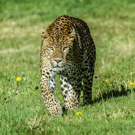 Leopard by Garry Chisholm - Animals Lions, Tigers & Big Cats ( garry chisholm, cat, nature, wildlife, leopard )