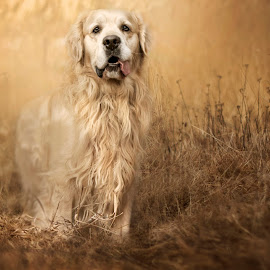 Morsik by Kasia Doroszkiewicz - Animals - Dogs Portraits ( #golden #retriever #love #dog #animals )