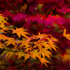 Colors of Fall by Madhujith Venkatakrishna - Nature Up Close Leaves & Grasses