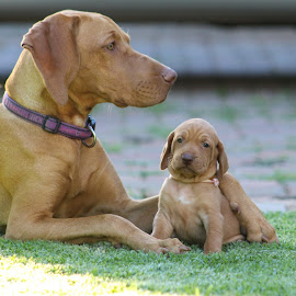Roxy older sister of Vizsla puppy by Louisa Botha - Animals - Dogs Puppies ( puppies, sweet, outdoor, hungarian vizsla, play, puppy, vizsla, cute, dog, outside, animal,  )
