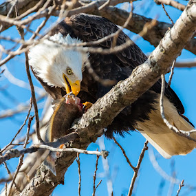 Bad day to be a fish by Todd Wallarab - Animals Birds ( bird, bird of prey, eagle, fly, fish, prey, soar,  )
