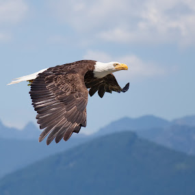 Bald Eagle by Alex Sam - Animals Birds ( bird, prey bird, eagle, bald eagle, in flight )