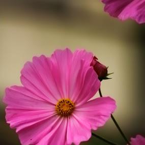 by Soumaya Karmakar - Flowers Single Flower (  )