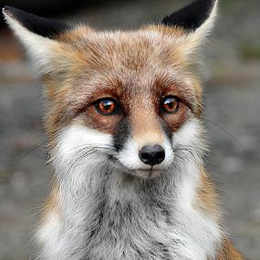 Fox portrait by Daliana Pacuraru - Animals Other ( wild, fox, daliana pacuraru, wildlife )