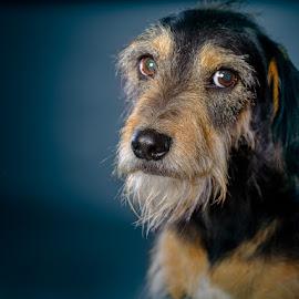 Mafia - looking for a home in Jozi by Phil Anderson - Animals - Dogs Portraits ( fujifilm, gfx, dog, profoto, portrait )