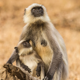 Grey Langur by S Balaji - Animals Other ( grey langur, wild, s.balaji, animals, nature )