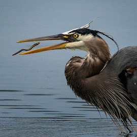 Great Blue with an eel by Fred Jennings - Animals Birds ( great blue heron, eel, eaing )