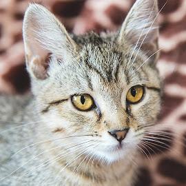 Lena by Brook Kornegay - Animals - Cats Portraits