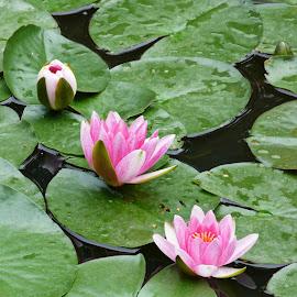 Water lilies by Helena Moravusova - Flowers Flower Gardens ( water lilies pink, flowers )