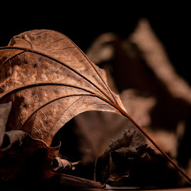 Brown Leaf by Plamen Mirchev - Uncategorized All Uncategorized ( close up, color, nature, dark, autumn, leaf, brown,  )