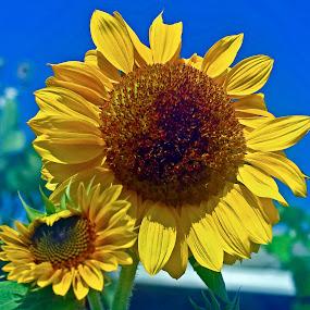 SunnyDay by Joanne Burke - Nature Up Close Flowers - 2011-2013