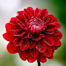 Dalhia carmin by Gérard CHATENET - Flowers Single Flower